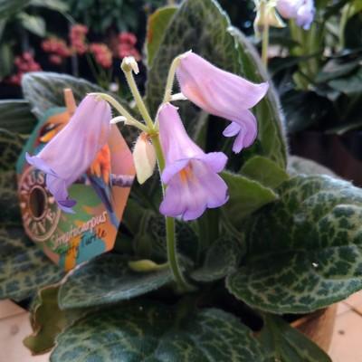 Primulina dryas 'Pretty Turtle'