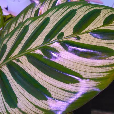 Goeppertia makoyana