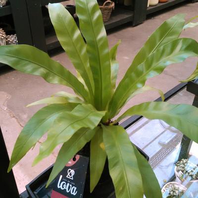 Japanse nestvaren (Asplenium antiquum)