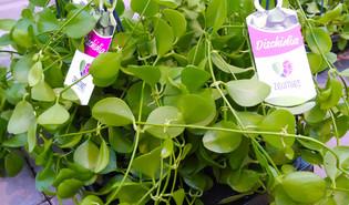 Mierenplant (Dischidia imbricata)
