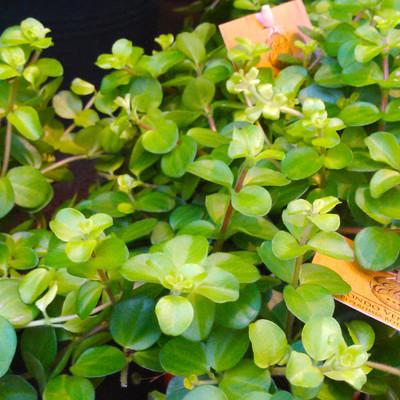 Klaverpeperomia (Peperomia trifolia)