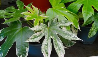 Gepanacheerde vingerplant (Fatsia japonica 'Variegata')