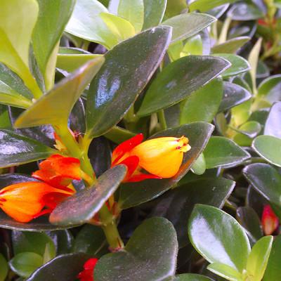Goudvisplant (Nematanthus spp.)