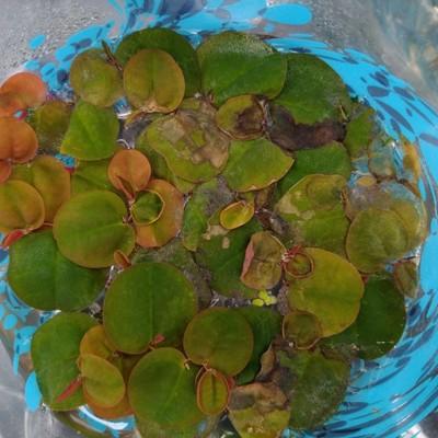 Roodwortel (Phyllanthus fluitans)
