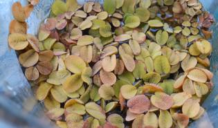 Kleine vlotvaren (Salvinia natans)