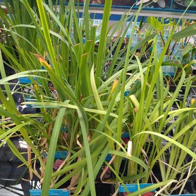 Moerasgladiool (Hesperantha coccinea)