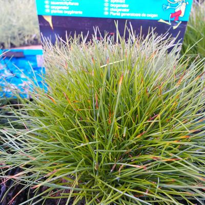 Borstelbies (Cyperus isolepis)