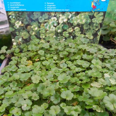 Nieuw-Zeelandse waternavel (Hydrocotyle novae-zeelandiae)
