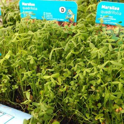 Klaverbladvaren (Marsilea quadrifolia)