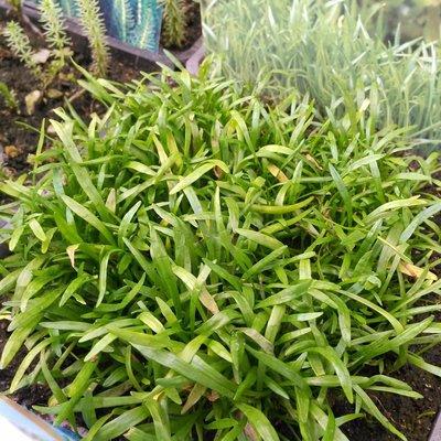 Braziliaanse grasplant (Lilaeopsis minor)