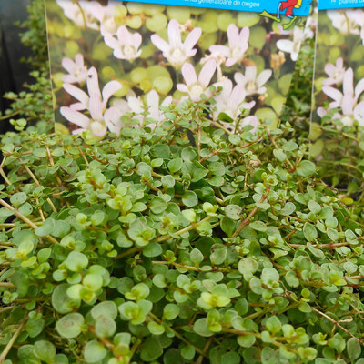 Teer guichelheil (Lysimachia tenella)