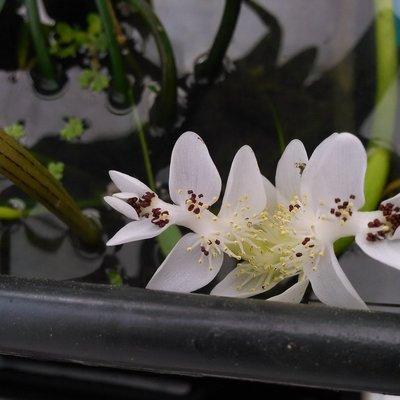 Kaapse waterlelie (Aponogeton distachyos)