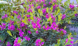 Vleugeltjesbloem (Polygala myrtifolia)