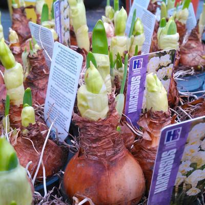 Trosnarcis (Narcissus tazetta)