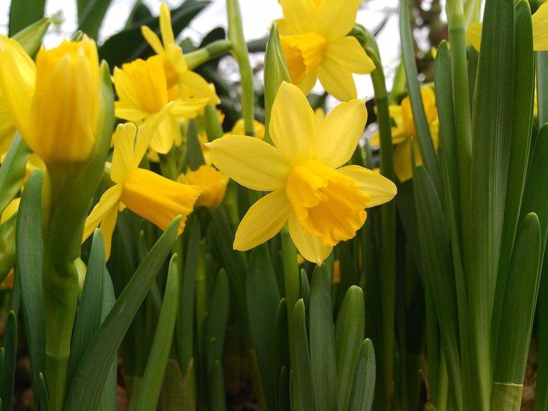 Cyclaamnarcis (Narcissus cyclamineus)