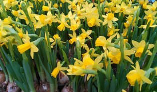 Cyclaamnarcis (Narcissus cyclamineus)