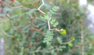 Dwerghoningboom (Sophora prostrata)