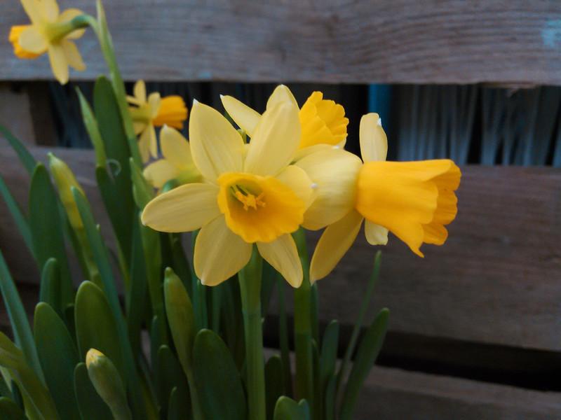 Dichtersnarcis (Narcissus poeticus)