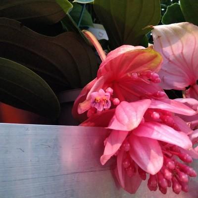 Trosbloem (Medinilla magnifica)