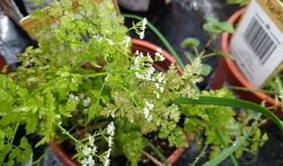 Echte kervel (Anthriscus cerefolium)