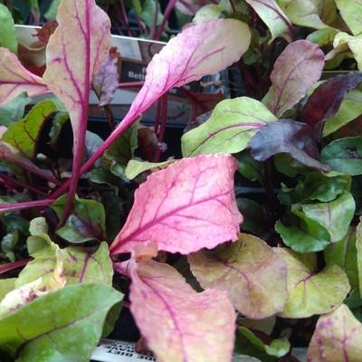 Rode biet (Beta vulgaris var. rubra)