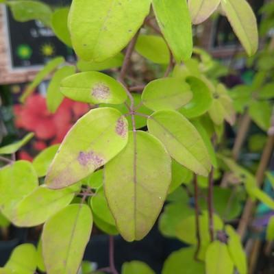Klimaugurk (Akebia quinata)