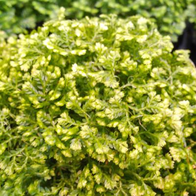Mosplantje (Selaginella apoda)