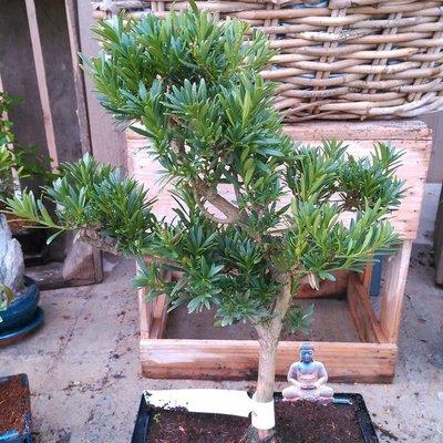 Japanse Boeddhaden (Podocarpus macrophyllus)