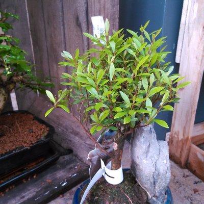 Kersstruik (Syzygium buxifolium)