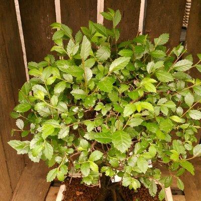Japanse zelkova (Zelkova serrata)