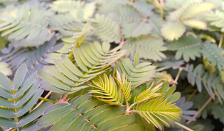 Kruidje-roer-mij-niet (Mimosa pudica)