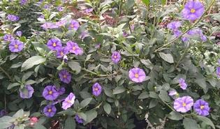 Blauwe aardappelstruik (Lycianthes rantonnetii)