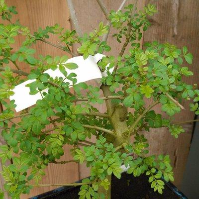 Es (Fraxinus excelsior)