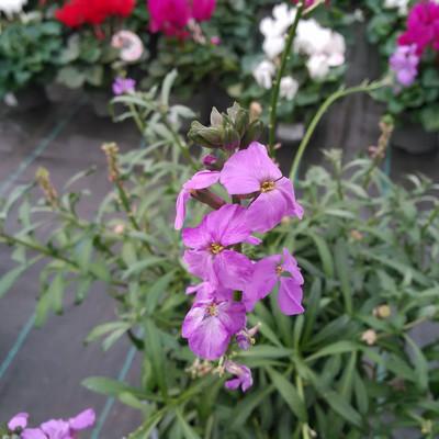 Steenraket (Erysimum linifolium)