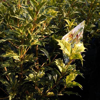 Schijnhulst (Osmanthus heterophyllus)