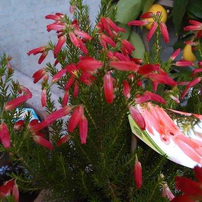Kapheide (Erica × oatesii 'Winter Fire')
