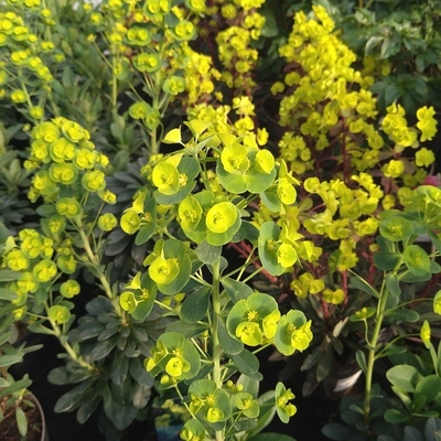 Amandelwolfsmelk (Euphorbia amygdaloides)