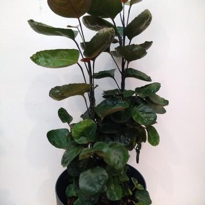 Aralia (Polyscias scutellaria)