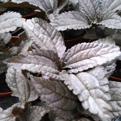 Pilea pubescens 'Silver Cloud'