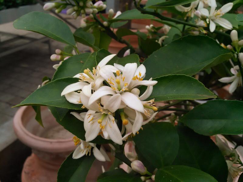 Meyercitroen (Citrus × meyeri)