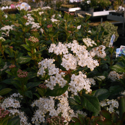 Sneeuwbal (Viburnum tinus)