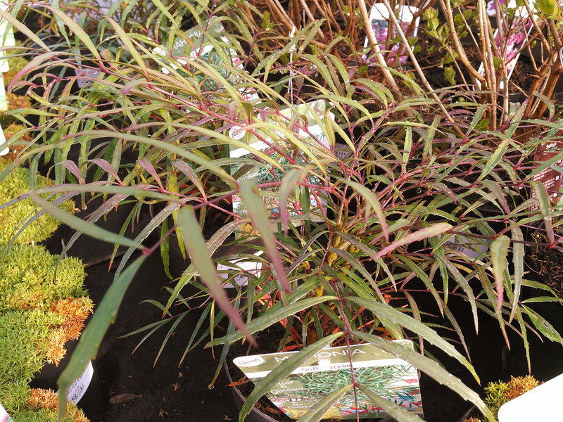 Chinese mahoniestruik (Mahonia eurybracteata)