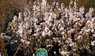 Sierkerselaar (Prunus tomentosa)