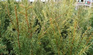 Venijnboom (Taxus baccata)