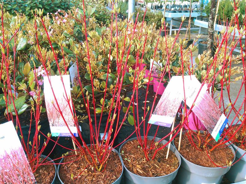 Canadese kornoelje (Cornus sericea)