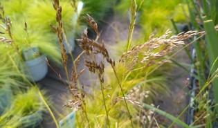 Bochtige smele (Deschampsia flexuosa)
