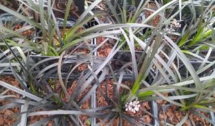 Slangenbaard (Ophiopogon planiscapus)