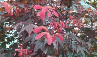 Japanse esdoorn (Acer palmatum)