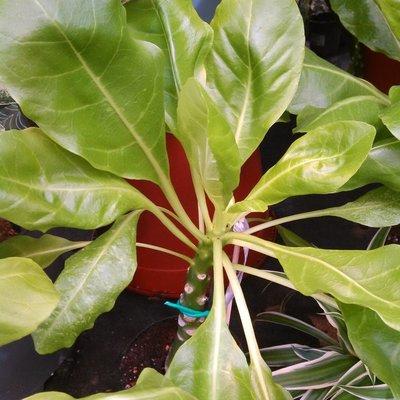 Hawaïaanse palm (Brighamia insignis)