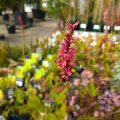 Duizendknoop (Persicaria spp.)